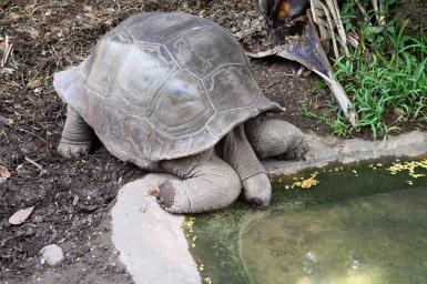 Ile maurice tortue terre des 7 couleurs Jardin